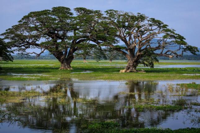 Bäume im Tissa Wewa Stausee in Sri Lanka